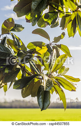 Close up of Magnolia tree leaves - csp44507855