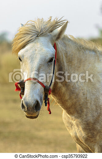 close up of male white horse in rural field looking to camera - csp35793922