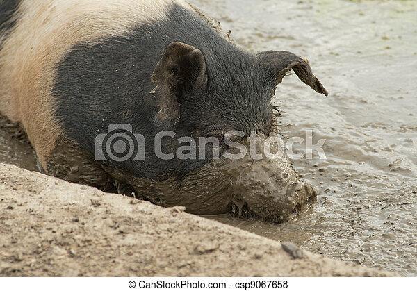 Close up of pig in the mud - csp9067658