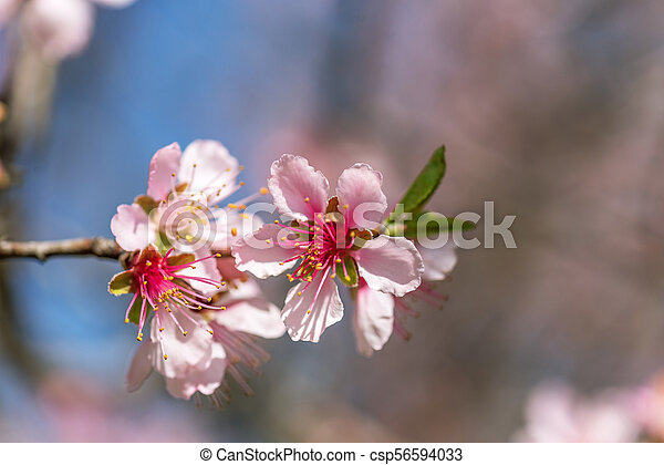 Close Up Of Pink Blossom Cherry Tree Branch Sakura Flowers Close
