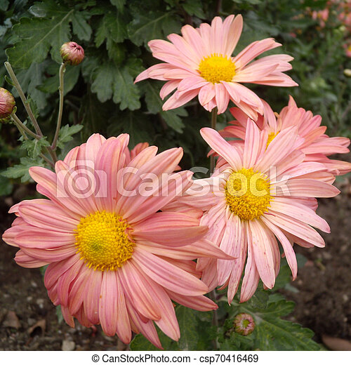 Close Up Of Pink Chrysanthemums Flowers On Green Garden Background