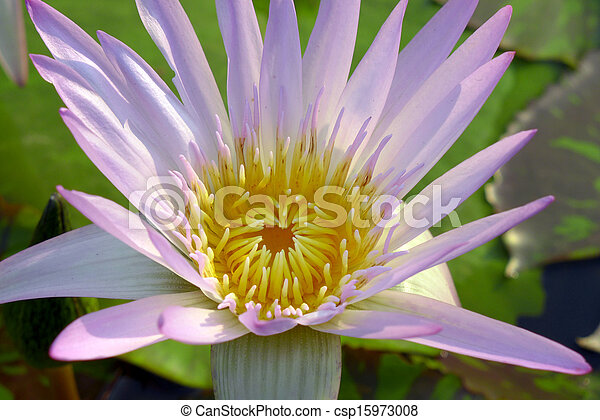 Close up of pink water lily - csp15973008