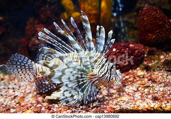 close up of poisonous lion fish - csp13980692