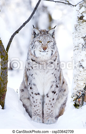 Close-up of proud lynx cat in the winter forest - csp33642709