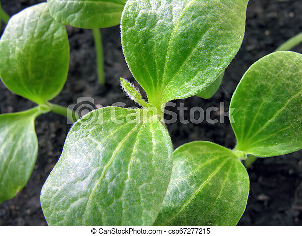 close-up of pumpkin sprouts - csp67277215