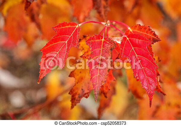 Close Up Of Red Amur Maple Tree Leaves In A Fall