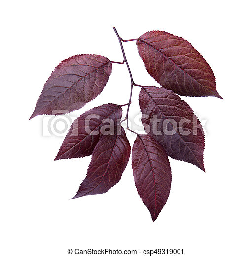 Close Up Of Red Leaves Of Plums Isolated On White Background