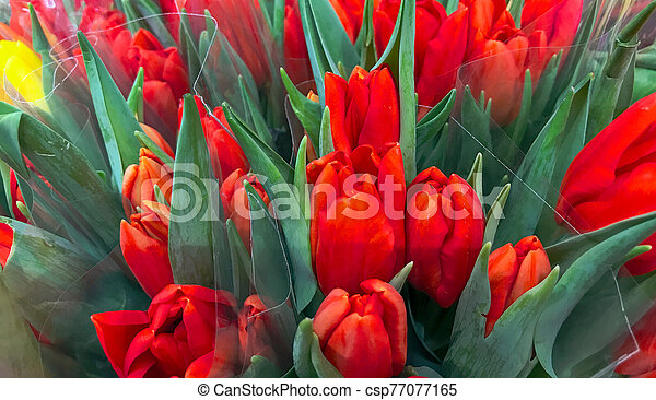 Close-Up Of Red Tulips Background - csp77077165