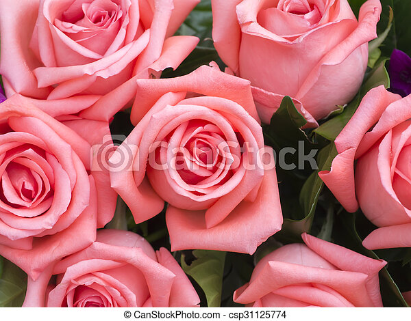 close up of rose flower - csp31125774