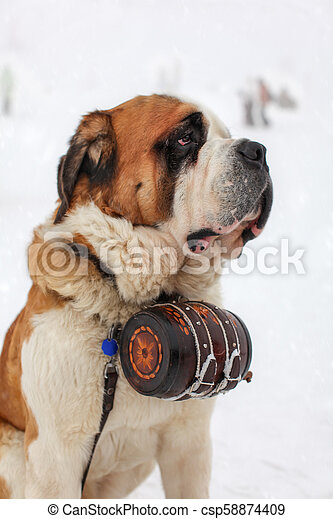 Close up of Saint Bernard Dog with iconic barrel in snowy background. - csp58874409