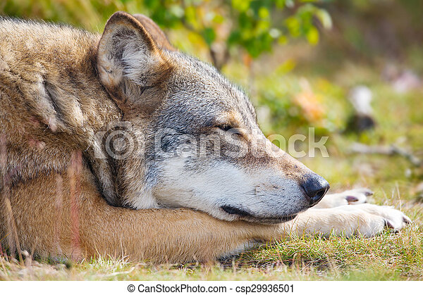 Close up of sleepy wolf who rests in the forest - csp29936501