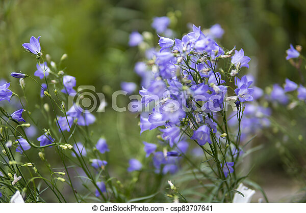 close up of small purple flowers - csp83707641