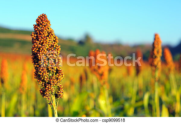 Close up of sorghum - csp9099518