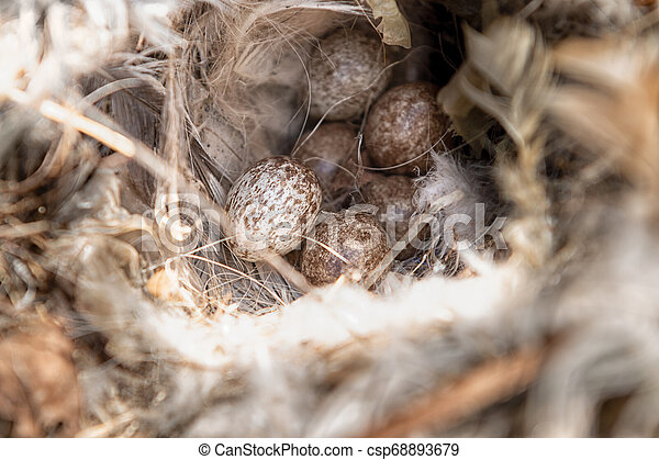 Close up of sparrow eggs in the nest. - csp68893679