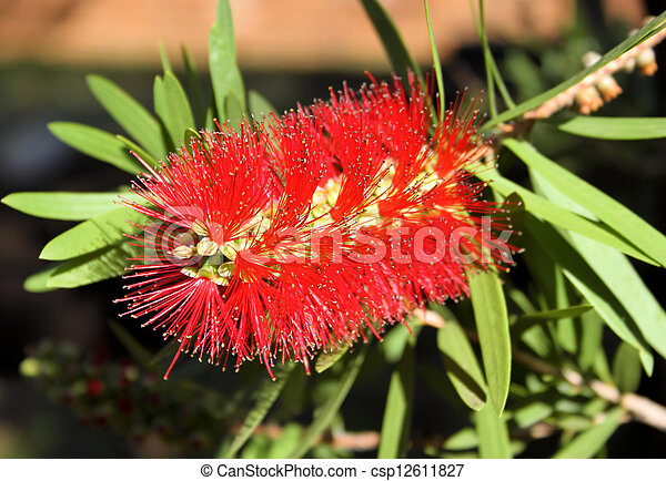 Close-up of Spiky Red Bottle Brush Flower - csp12611827
