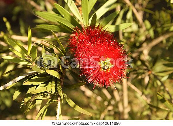 Close-up of Spiky Red Bottle Brush Flower - csp12611896