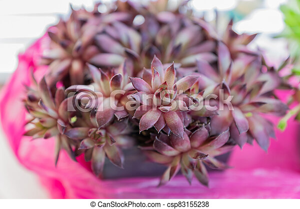 close up of Succulent plant houseleek Sempervivum in a pot - csp83155238