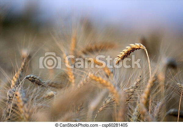 Close Up Of Warm Colored Golden Yellow Ripe Focused Wheat Heads On Sunny Summer Day On Soft Blurred Foggy Meadow Wheat Field Light Brown Background