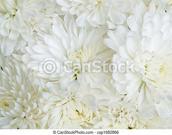 Close up of white flowers mums close up of white mums stock close up of white flowers mums csp1682866 mightylinksfo