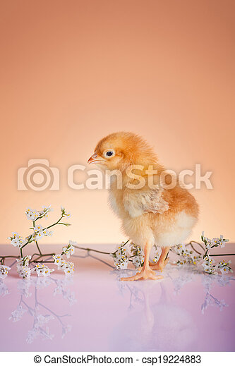 Close up of young chicken in springtime  - csp19224883