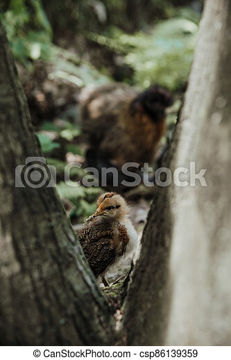 close up on young baby silk chicken - csp86139359
