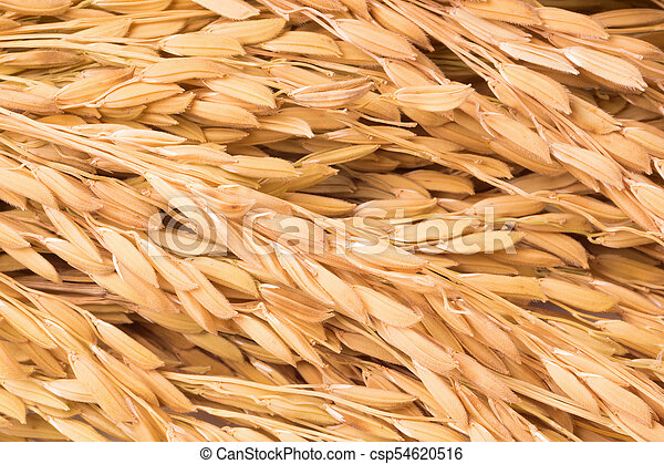 Close up paddy rice on white background - csp54620516