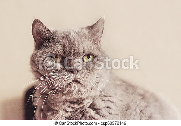 Close-up photo of a cat of British breed lilac color, carefully looking away from the camera. Shallow depth of field. Focus on the eyes. - csp60372146