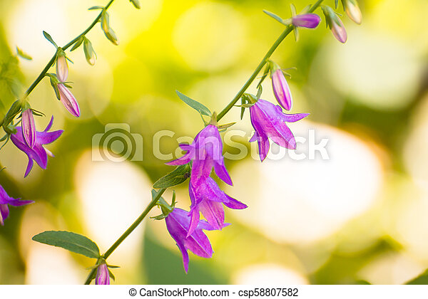 Close up Photo of Beautiful Campanula Flowers on Bright Blurred Green Background. - csp58807582