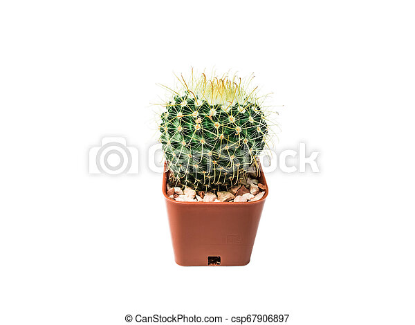 Close-up photos of small cactus isolated on a white background - csp67906897