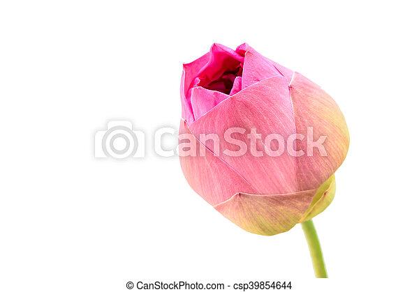 close up pink Lotus - csp39854644