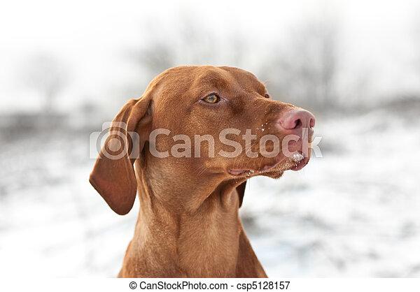 Close-up Portrait of a Vizsla Dog in Winter - csp5128157