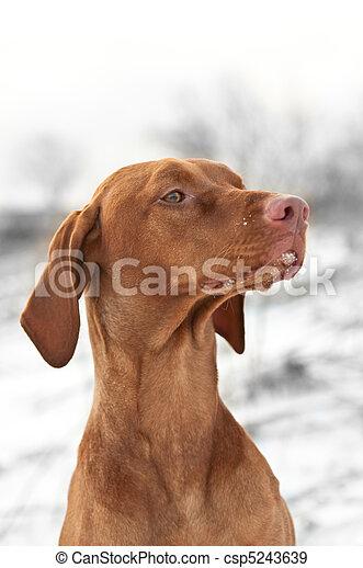 Close-up Portrait of a Vizsla Dog in Winter - csp5243639