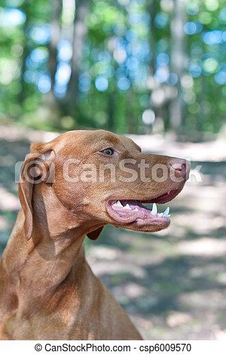 Close-up Portrait of a Vizsla Dog - csp6009570