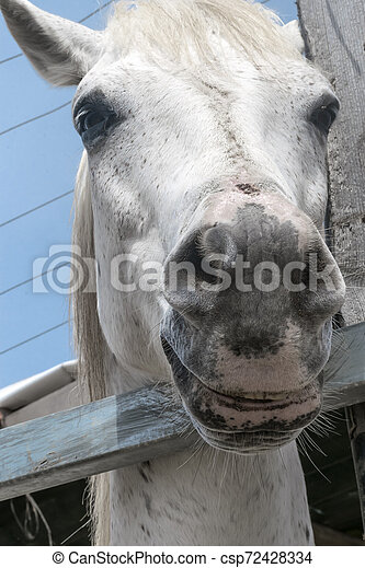 Close-up portrait of a white horse standing in a stall. Muzzle of a horse looking into camera - csp72428334