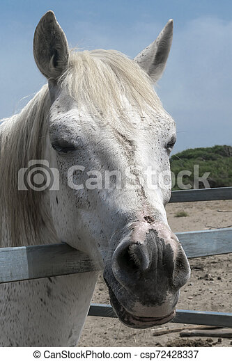 Close-up portrait of a white horse standing in a stall. Muzzle of a horse looking into camera - csp72428337