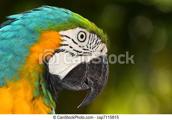 Close up portrait of blue and yellow macaw - csp7115815