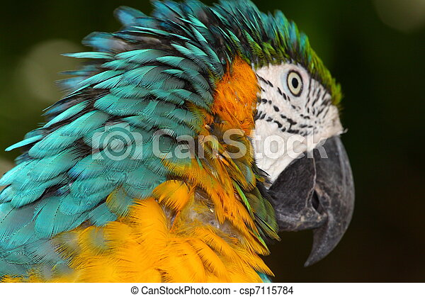 Close up portrait of blue and yellow macaw - csp7115784