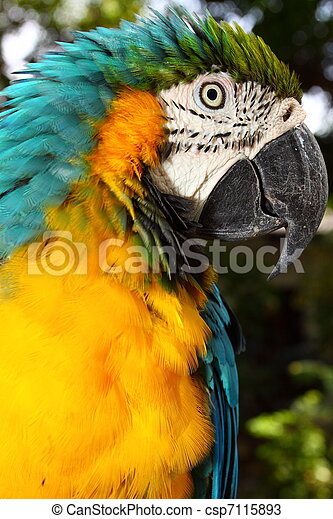 Close up portrait of blue and yellow macaw - csp7115893