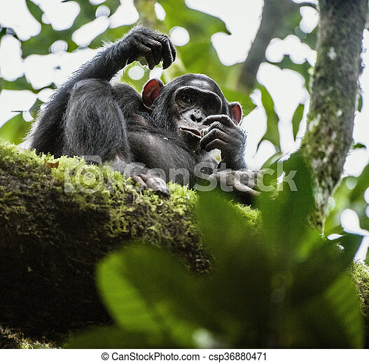 Close up portrait of chimpanzee ( Pan troglodytes ) resting on the tree in the jungle - csp36880471