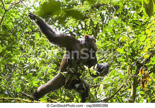 Close up portrait of chimpanzee ( Pan troglodytes ) resting on the tree in the jungle - csp36880386