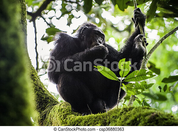 Close up portrait of chimpanzee ( Pan troglodytes ) resting on the tree in the jungle - csp36880363