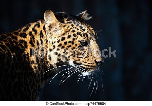 Close up portrait of leopard - csp74475504