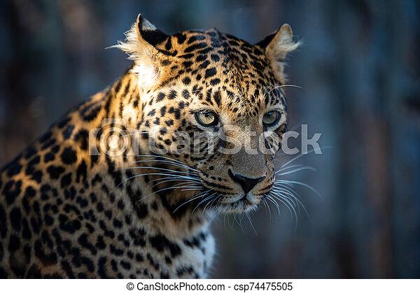 Close up portrait of leopard - csp74475505