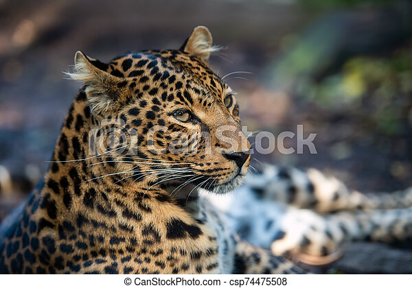 Close up portrait of leopard - csp74475508