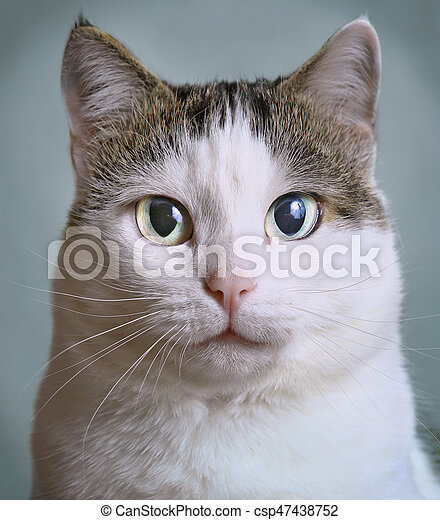 close up portrait of siberian cat with blue eyes - csp47438752