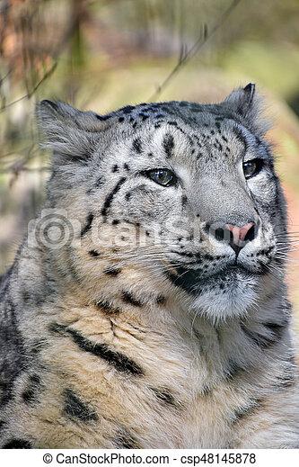 Close up portrait of snow leopard - csp48145878