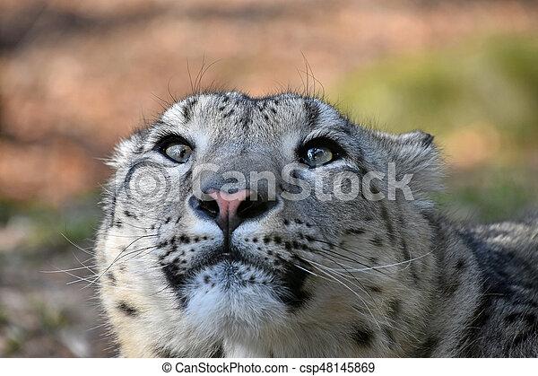 Close up portrait of snow leopard - csp48145869