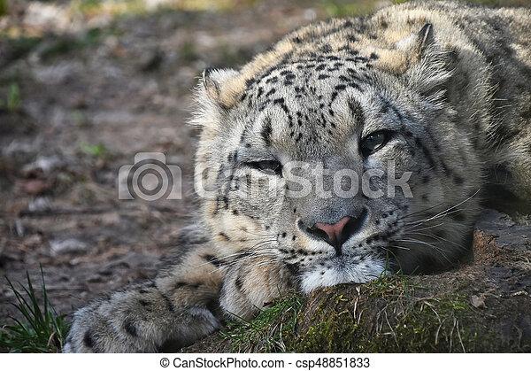 Close up portrait of snow leopard - csp48851833