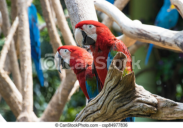 Close up  Red  Macaw on a branch - csp84977836