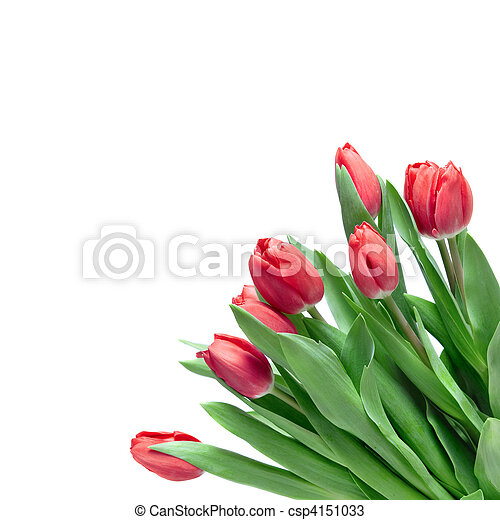 close-up red tulips isolated on white - csp4151033